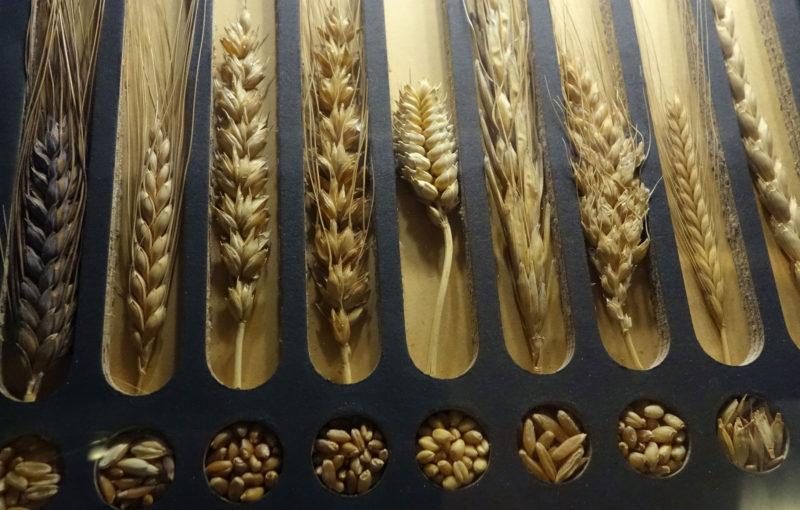 Grain_Sample_Display,_1924_-_Glenbow_Museum---Crop