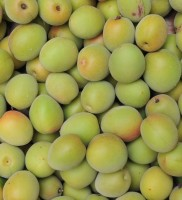 crop-of-the-japanese-apricot